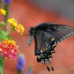アゲハチョウの種類!黒いアゲハチョウと青い筋入りのアゲハチョウ!