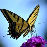 アゲハチョウの蛹が羽化する時間帯や時間、羽化までの期間は?