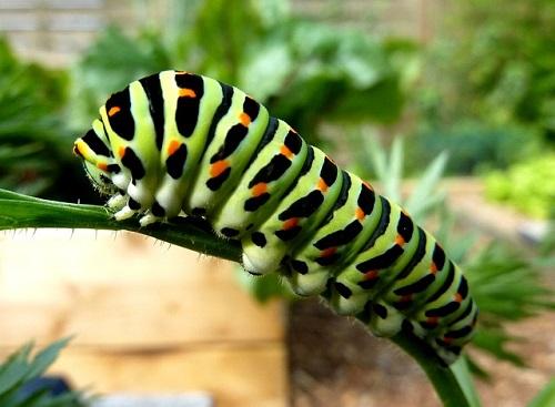 アゲハチョウ 芋虫