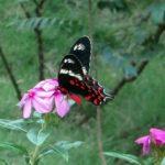 アゲハ蝶と蛾の見分け方とは?