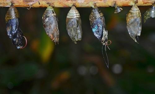 アゲハチョウ さなぎ 茶色 黒