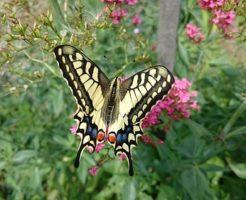 アゲハチョウ 季節型