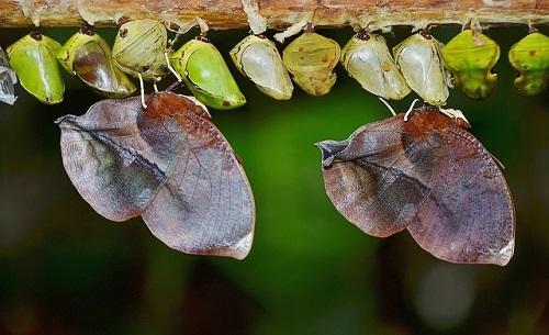 アゲハチョウ 蛹 羽化
