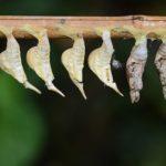 アゲハチョウのさなぎは冬にも存在する?!