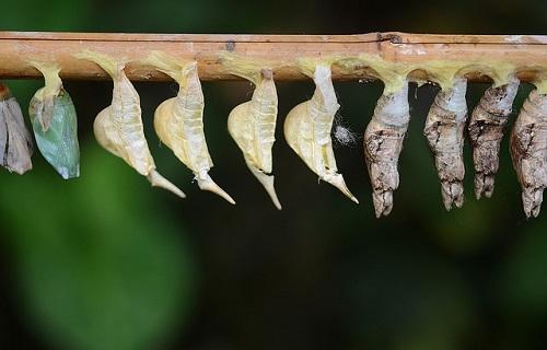 アゲハチョウ 蛹 越冬