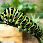 アゲハチョウの芋虫や青虫の飼育。餌はどんなものを与えるの?