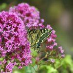 アゲハチョウの好きな花や、好きな草とは?