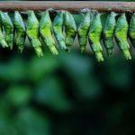 アゲハチョウの幼虫・前蛹・脱皮とは?