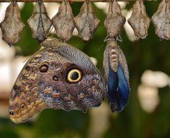 アゲハチョウ 羽化